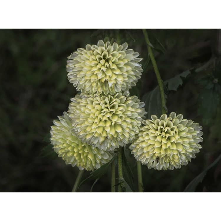 Chrysanthemum morifolium 'Froggy'