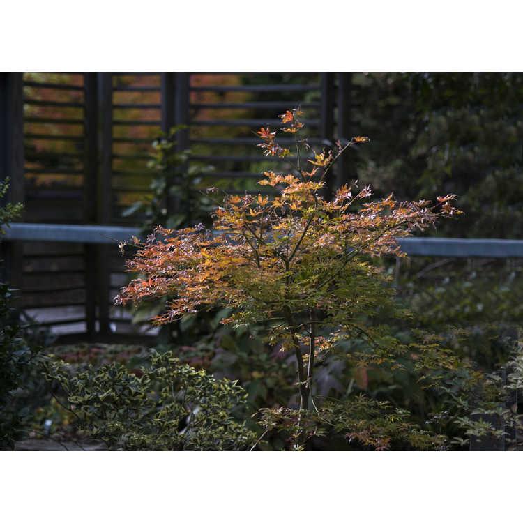 Acer palmatum 'Peaches and Cream'