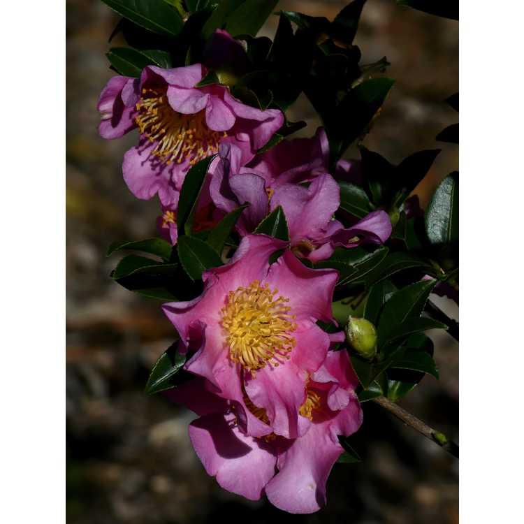 Camellia sasanqua Rosy Pillar