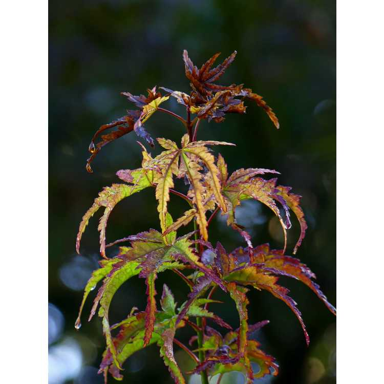 Acer shirasawanum 'Yasemin' - full moon maple