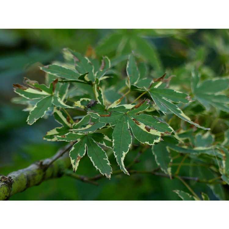 Acer palmatum 'Beni schichihenge' - variegated pink-leaf Japanese maple