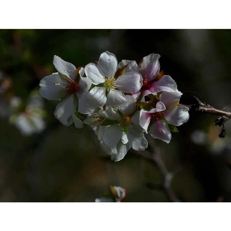 Prunus incisa - Fuji cherry