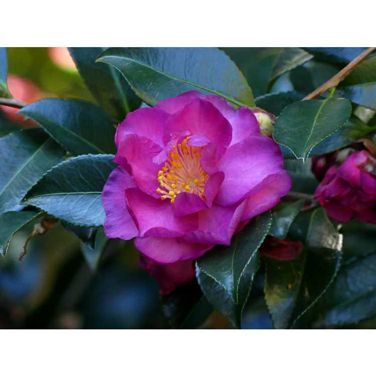 Camellia ×vernalis 'Hiryû' - vernal camellia