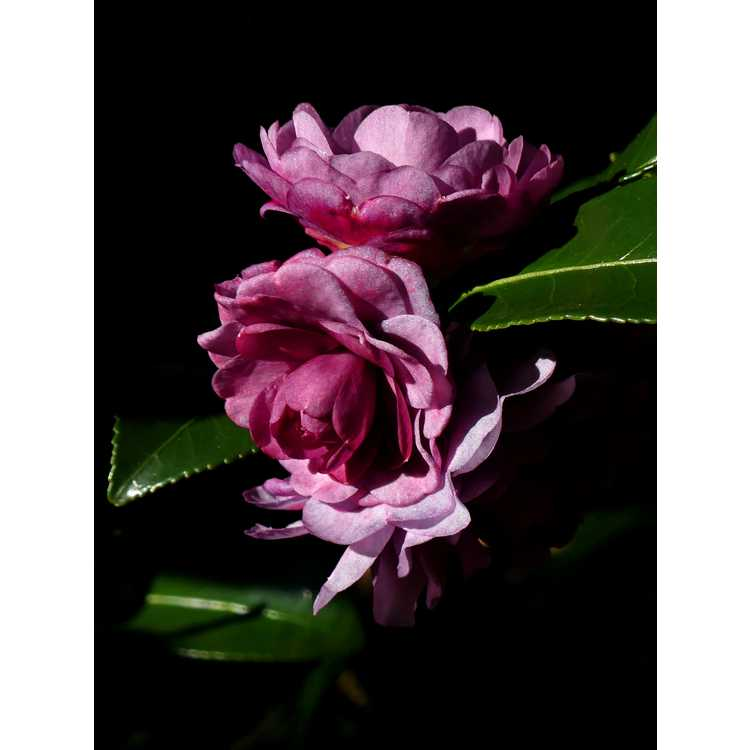 Camellia ×hiemalis 'Green's Blues'