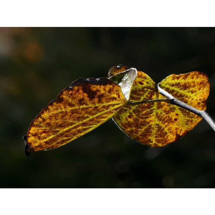 Cercis canadensis 'Crosswicks Red' - eastern redbud