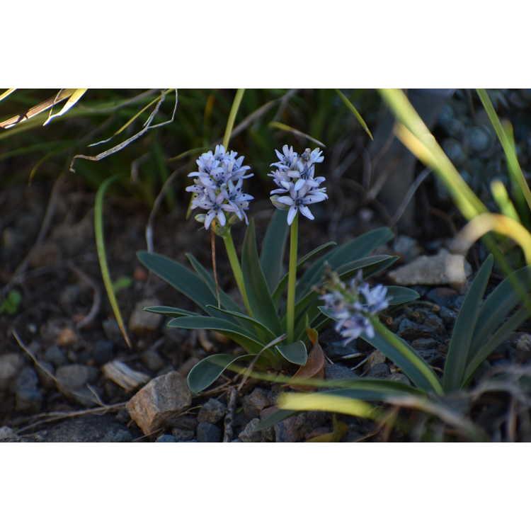 Hyacinthoides ciliolata