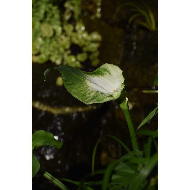 Zantedeschia aethiopica 'Green Goddess' - calla lily