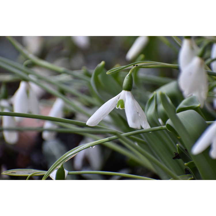 Galanthus elwesii var. monostictus - one-spotted giant snowdrop