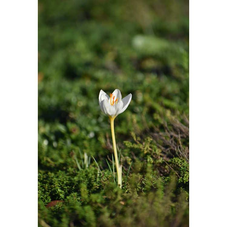 Crocus niveus (late blooming form) - autumn-flowering crocus