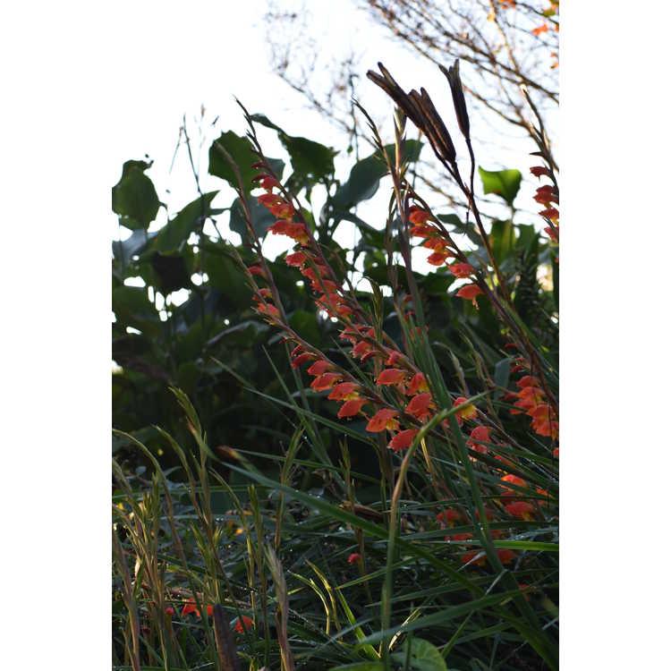 Gladiolus dalenii 'Halloweenie' - parrot beak gladiolus