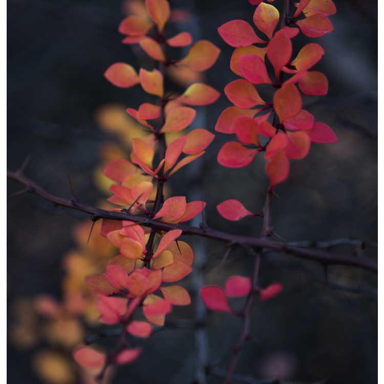 Berberis thunbergii 'Kelleriis' - Japanese barberry