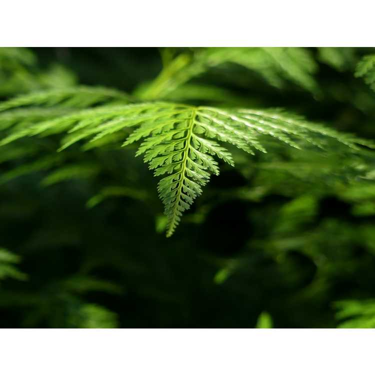 Onychium japonicum 'Sichuan Lace'