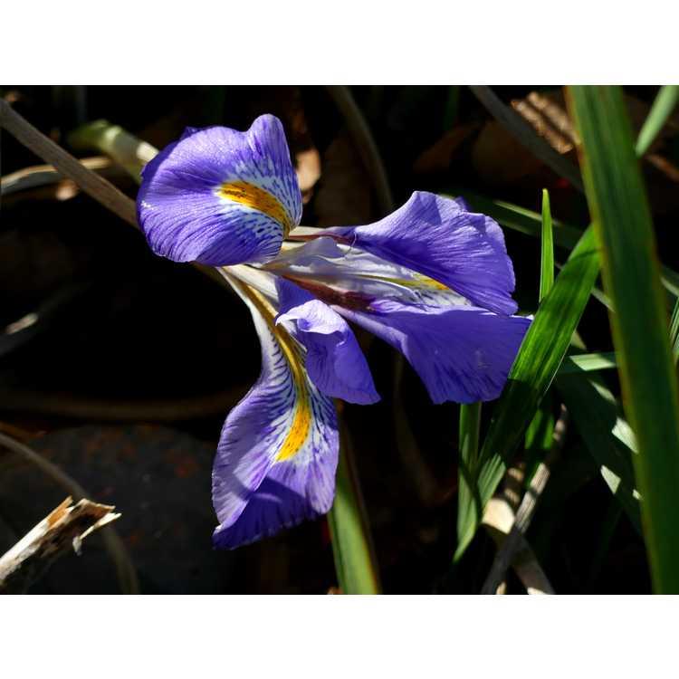 Iris unguicularis - winter flowering iris