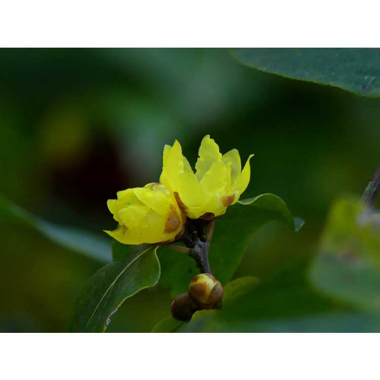 Chimonanthus praecox Luteus