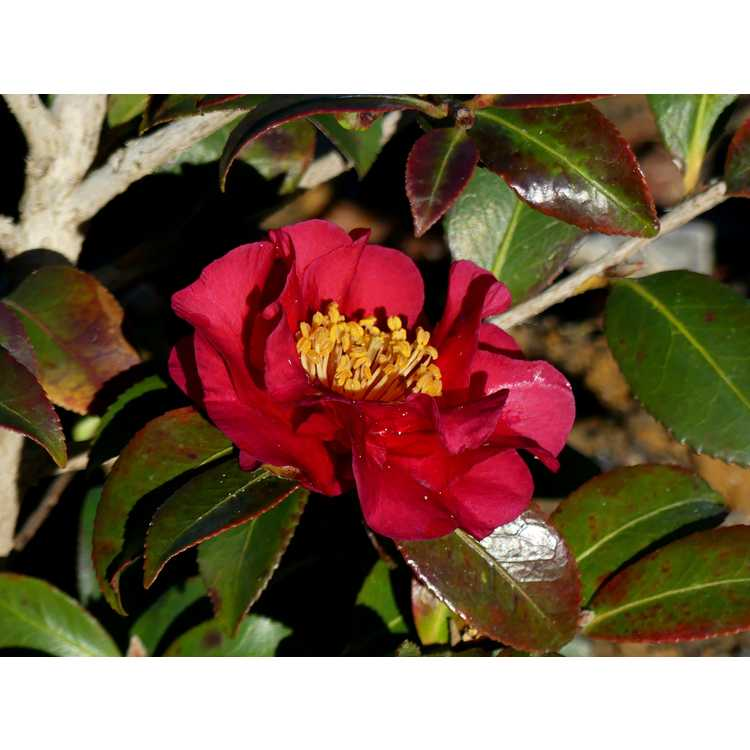 Camellia sasanqua Reverend Ida