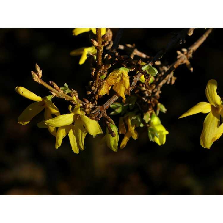 Forsythia ×intermedia 'White Gold'