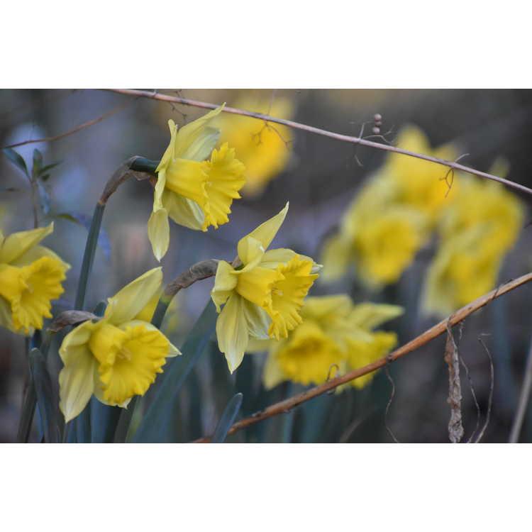 Narcissus 'Rijnveld's Early Sensation' - trumpet daffodil