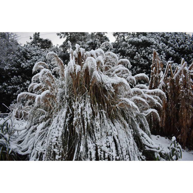 Cortaderia selloana 'Blue Bayou' - compact pampas grass