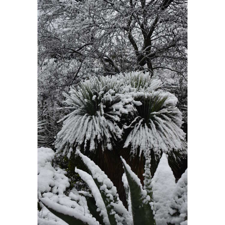 Yucca rostrata - Mexican blue yucca