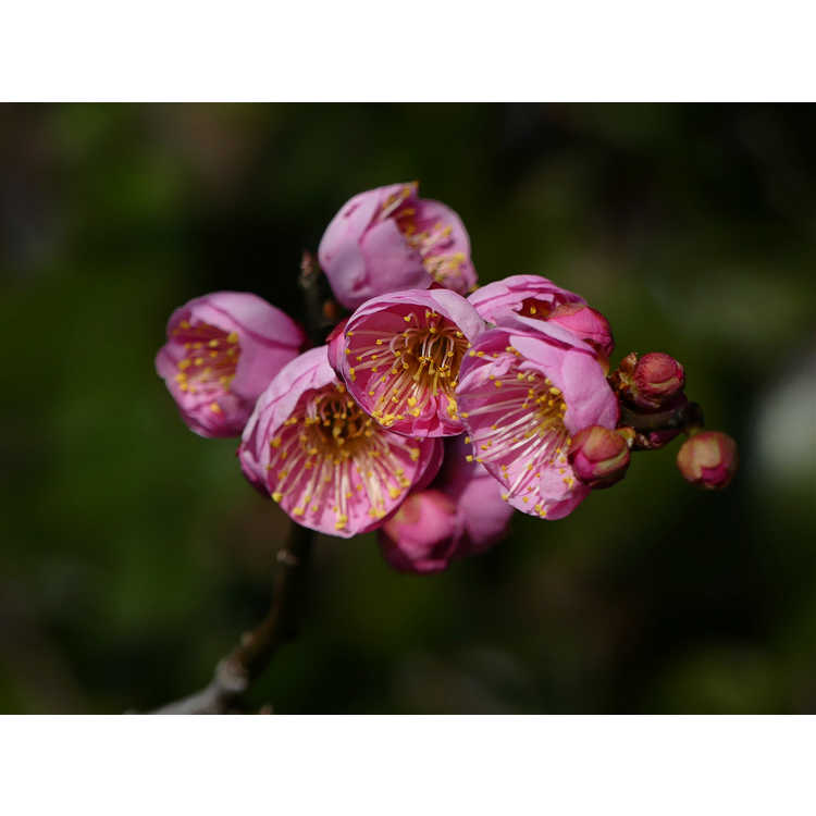 Prunus mume 'Peggy Clarke' - pink Japanese flowering apricot