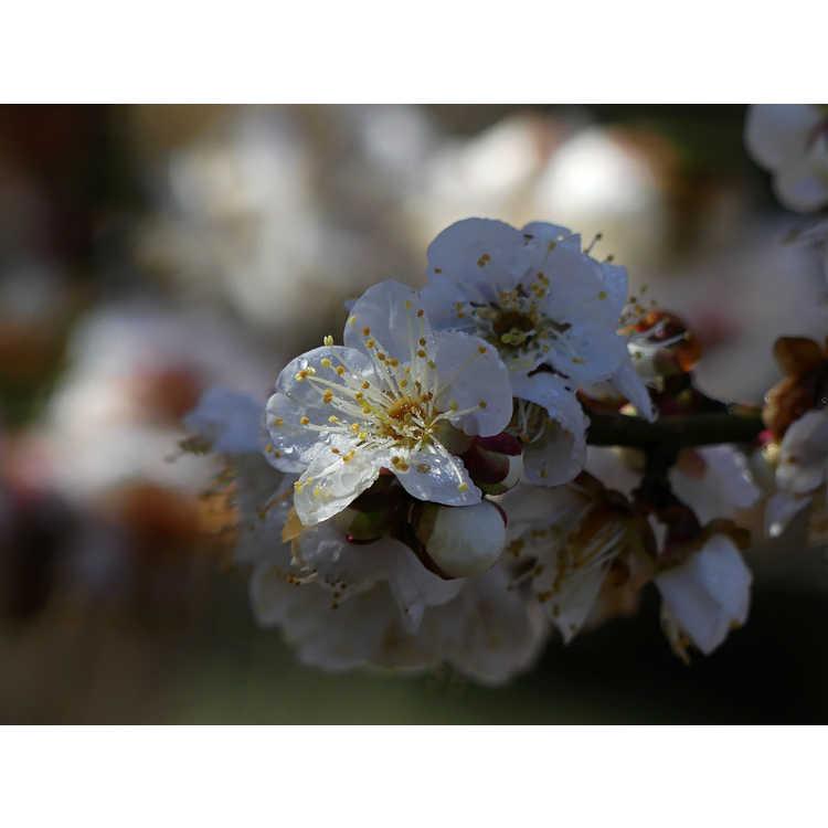 Prunus mume 'Big Joe'