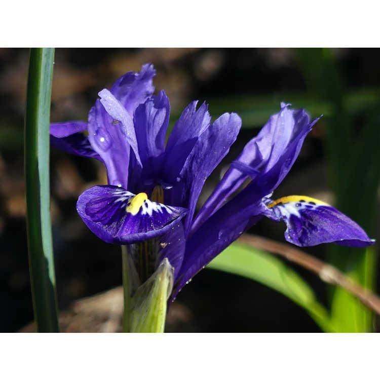 Iris [Reticulata Group] 'Pixie'