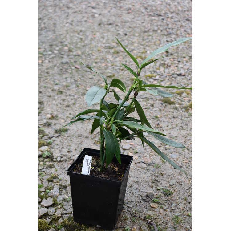 Aucuba japonica f. longifolia