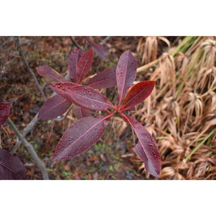 ×Gordlinia grandiflora 'Sweet Tea' - mountain gordlinia