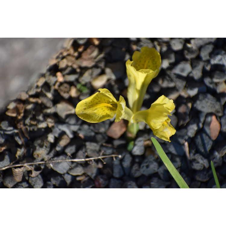 Iris [Reticulata Group] 'Sunshine'