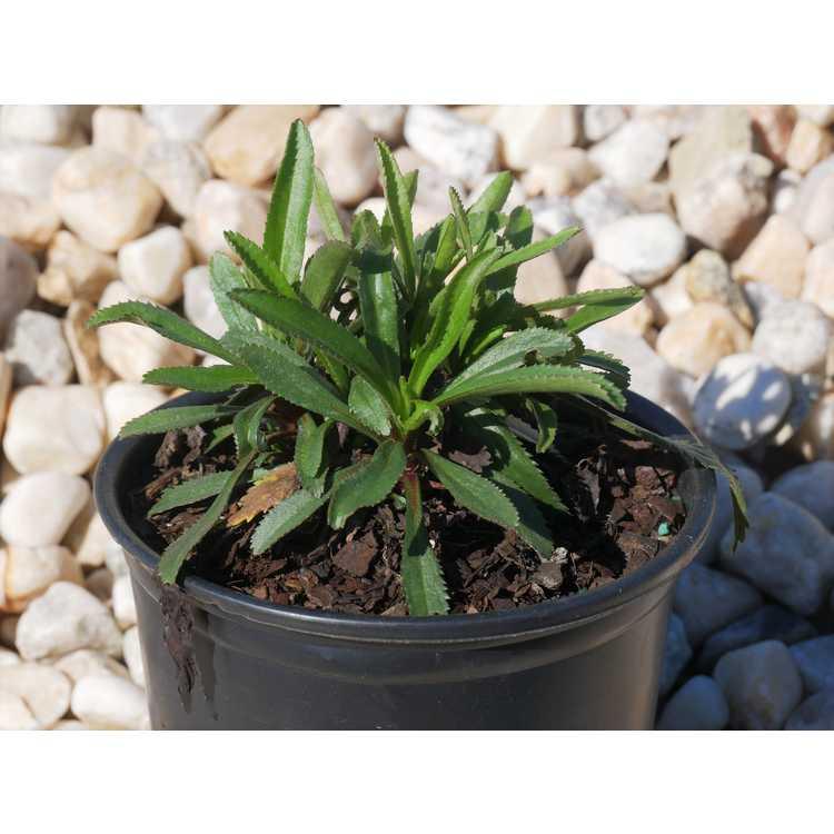 Leucanthemum ×superbum 'Goldfinch'