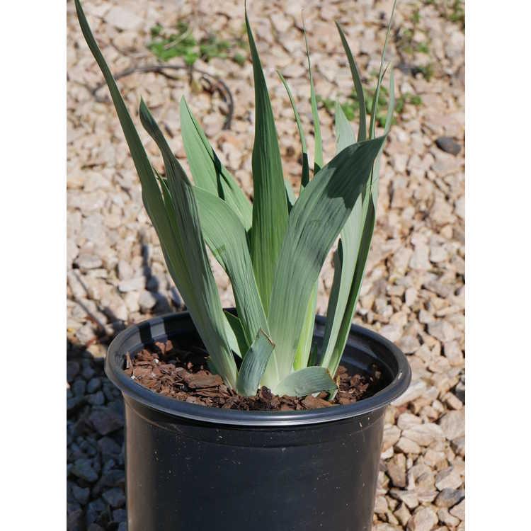 Iris 'Navajo Jewel'