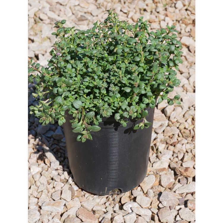Chaenorhinum origanifolium 'Blue Dreams'