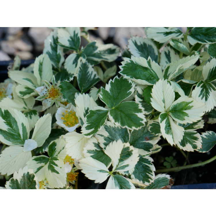 Fragaria vesca (variegated)