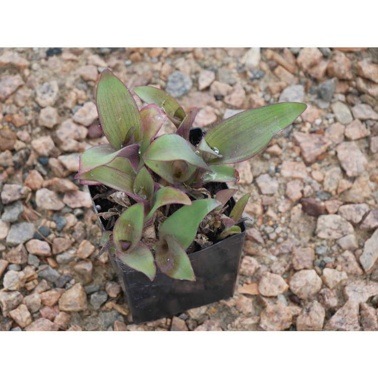 Tradescantia pallida 'Blue Sue' - purple queen