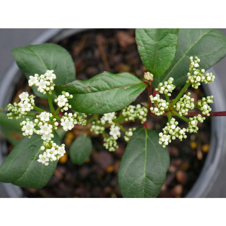 Viburnum ×globosum 'Jermyn's Globe' - viburnum