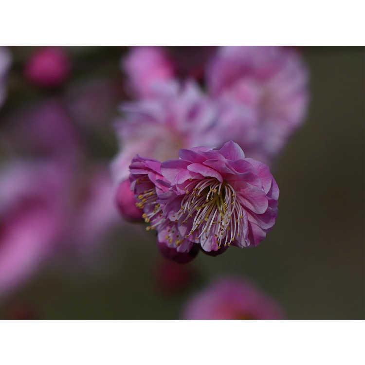 Prunus mume 'Yuh-Hwa' - Japanese flowering apricot