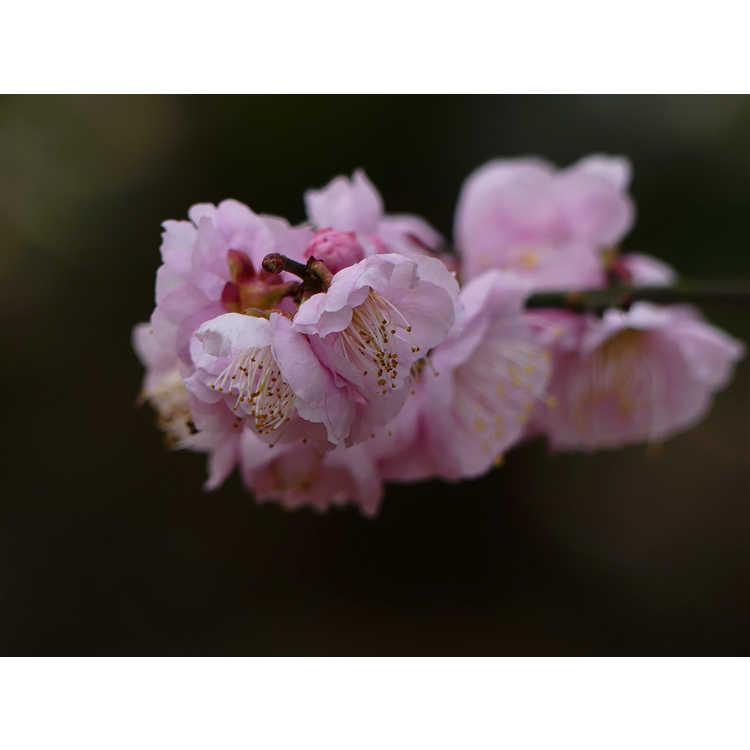 Prunus mume 'Nicholas' - Japanese flowering apricot