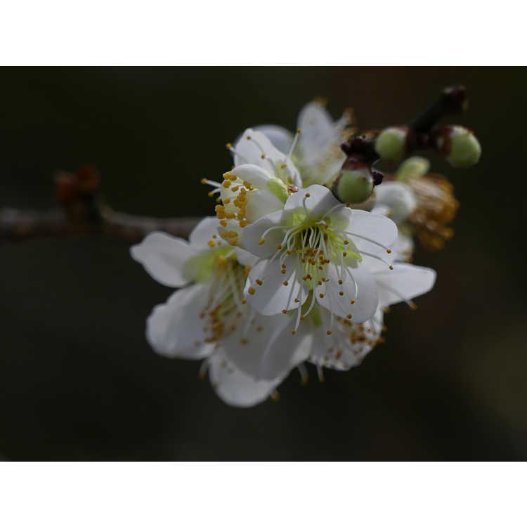 Prunus mume 'Tama'