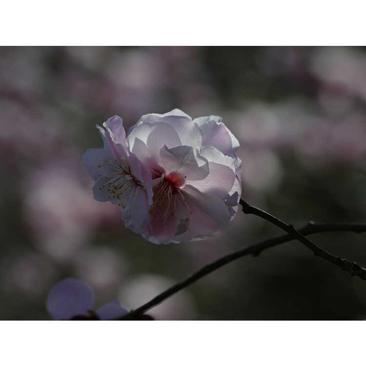 Prunus mume 'Okitsu-akabana'