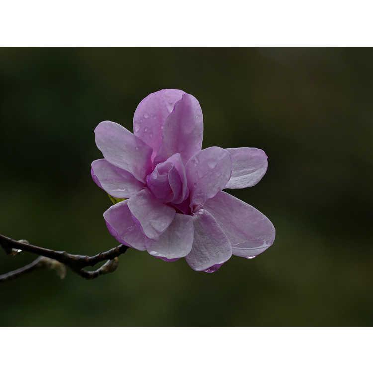 Magnolia ×loebneri 'Leonard Messel'