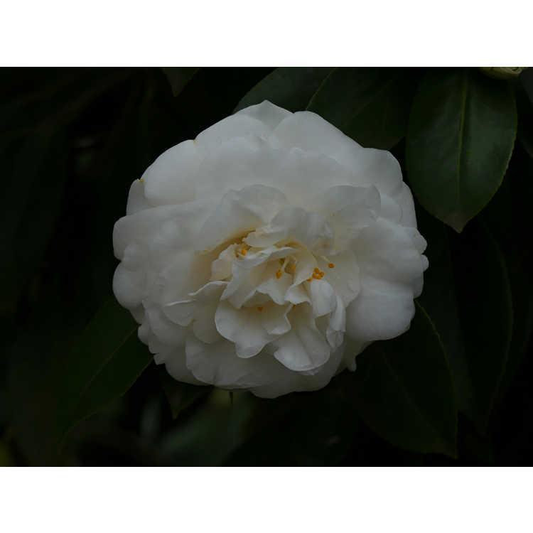 Camellia japonica 'White Perfection'