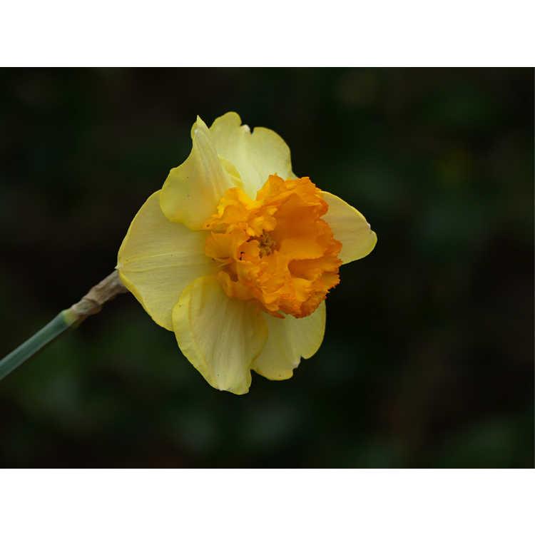 Narcissus 'Modern Art'