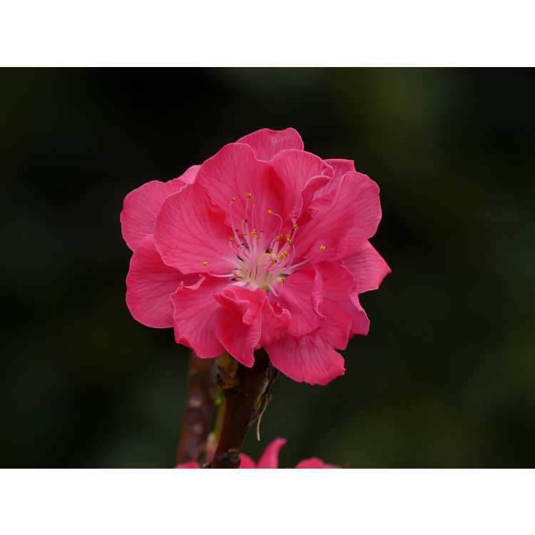 Prunus persica 'NCSU Dwarf Double Red' - flowering peach