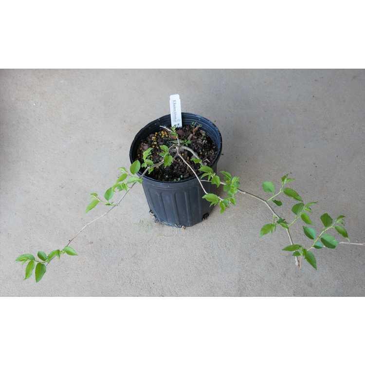 Ulmus minor subsp. minor 'Pendula'