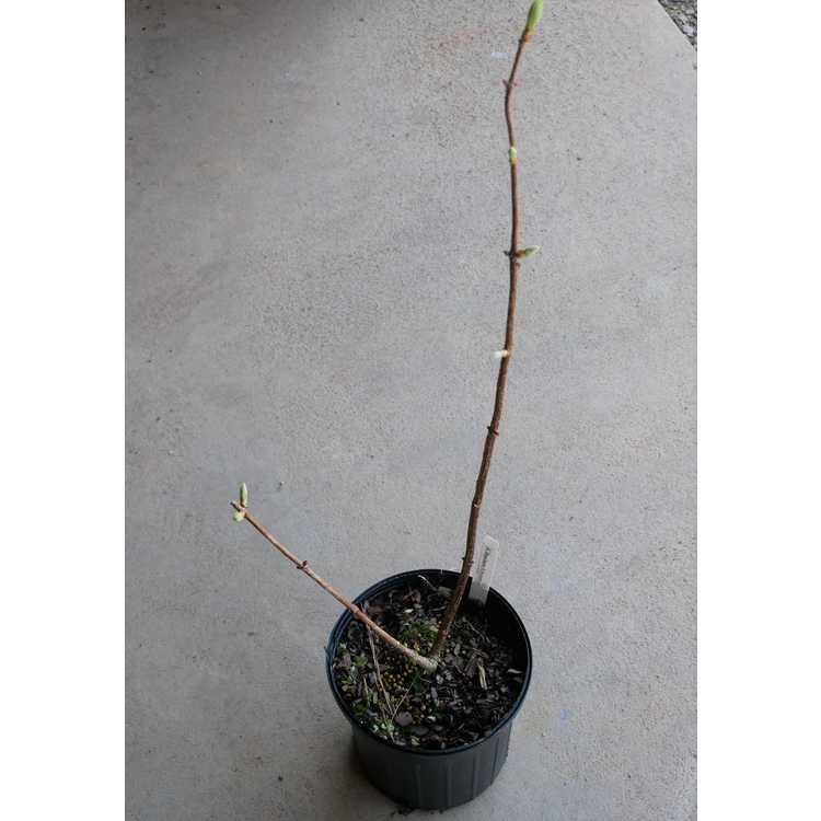 Hydrangea paniculata 'Brussels Lace' - panicled hydrangea