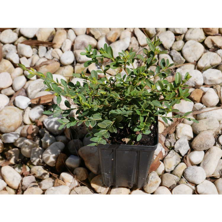 Buxus 'Prostrate3'