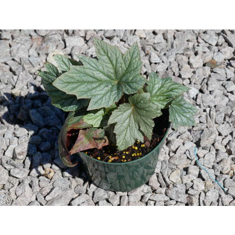 Begonia 'Pewterware' - hardy begonia
