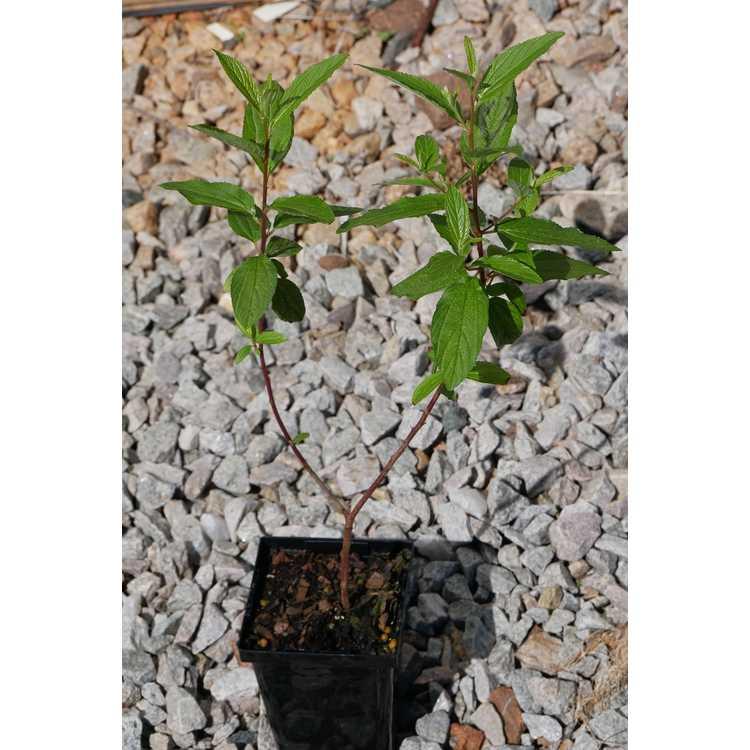 Ceanothus ×delilianus 'Henri Desfossé' - hybrid ceanothus
