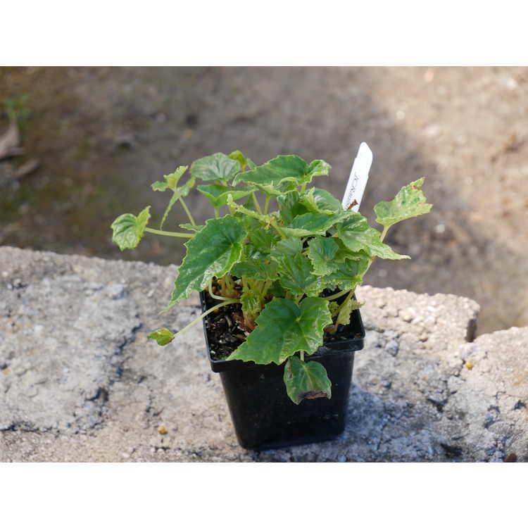 Begonia formosana - hardy begonia