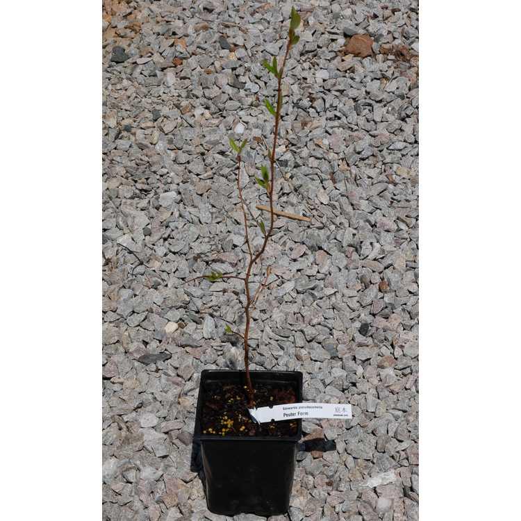 Stewartia pseudocamellia (Pewter Form No. 1)